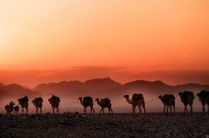아프리카 에티오피아(Ethiopia) 낙타 행렬, man walking beside parade of camels background of mountain,featured, Photo by trevor-cole